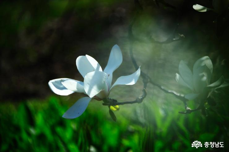 태안 천리포수목원에 봄꽃이 활짝 2
