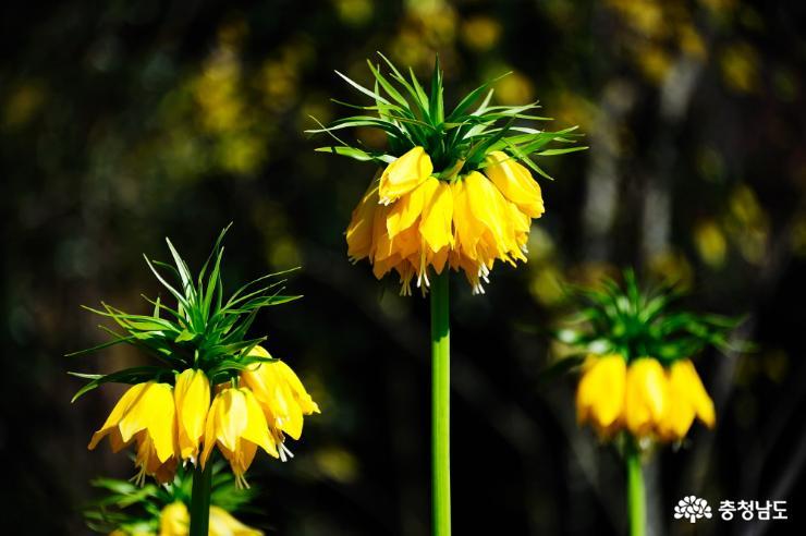태안 천리포수목원에 봄꽃이 활짝 5