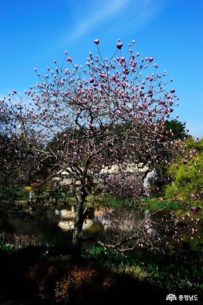 태안 천리포수목원에 봄꽃이 활짝 10