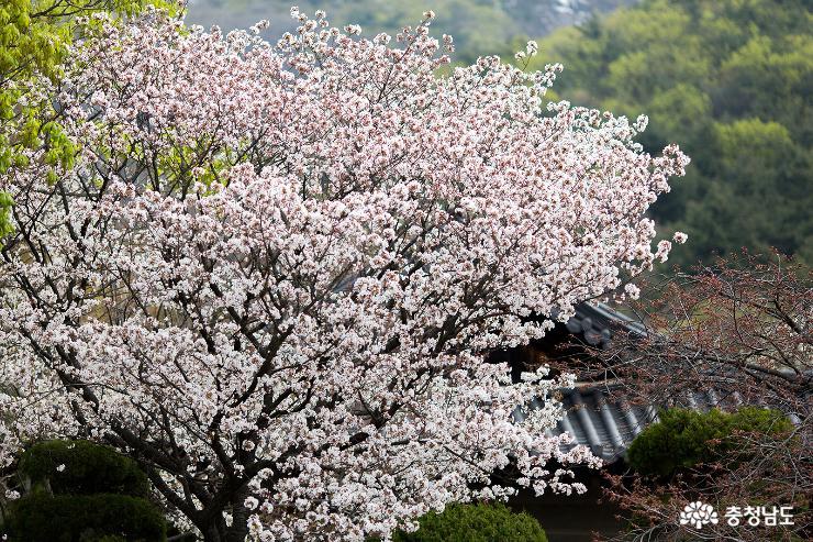겹벚꽃과 수양벚꽃이 예쁜 각원사