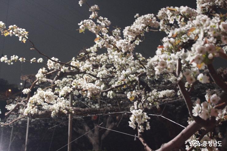 이화에 월백하고… 배꽃의 향연을 '봄'
