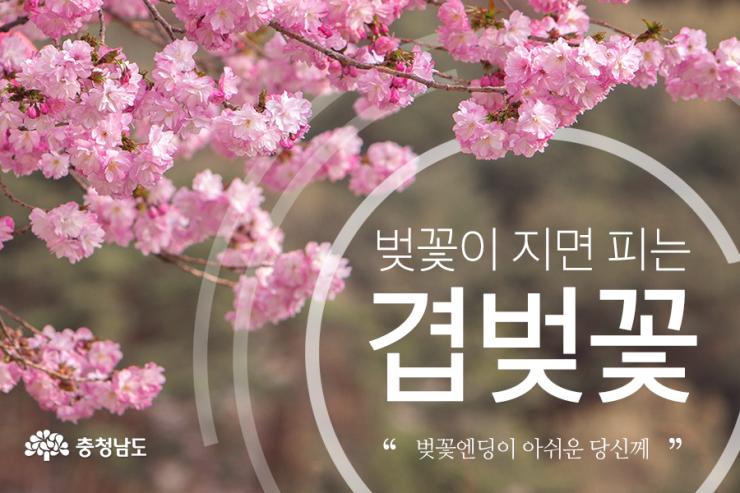 벚꽃이 지면 피는 겹벚꽃