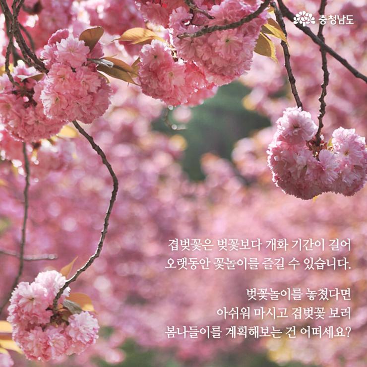 겹벚꽃 보러 봄나들이를 계획해보는 건 어떠세요?
