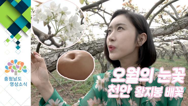 [VCR]오월의 눈꽃, 천안 왕지봉 배꽃