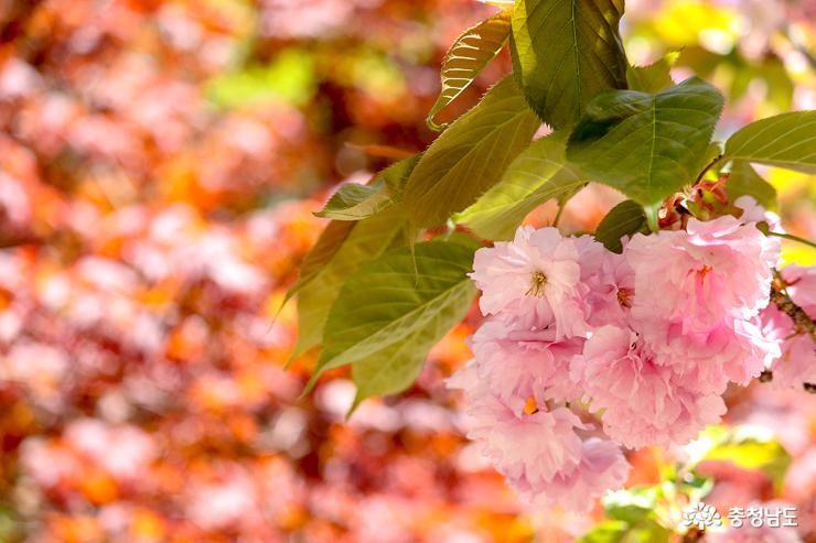 겹벚꽃이 만발한 서산 문수사