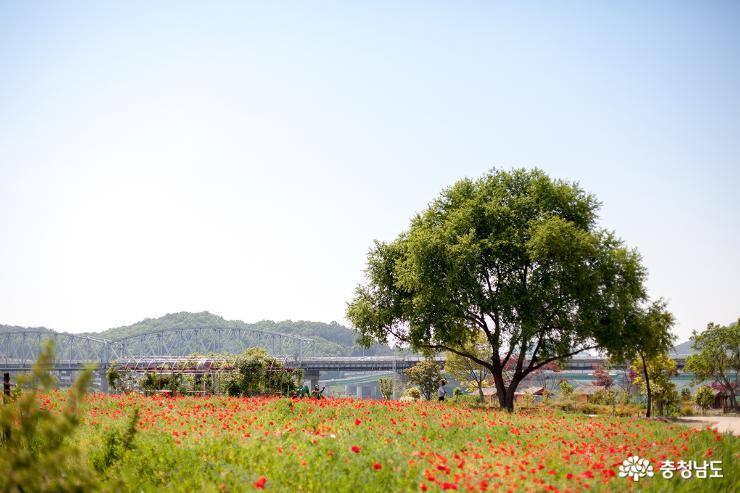 양귀비꽃이 가득한 미르섬