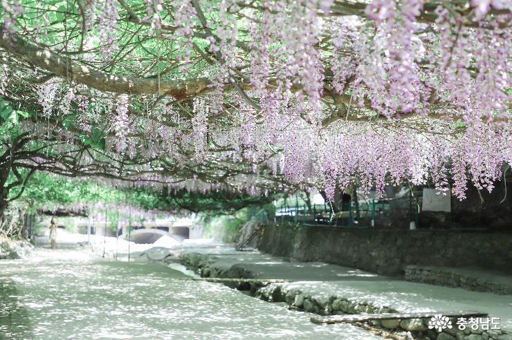 등나무꽃 보랏빛 향기