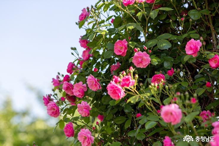 천안 단대 장미정원에서 마음껏 장미꽃을 감상해 보세요!