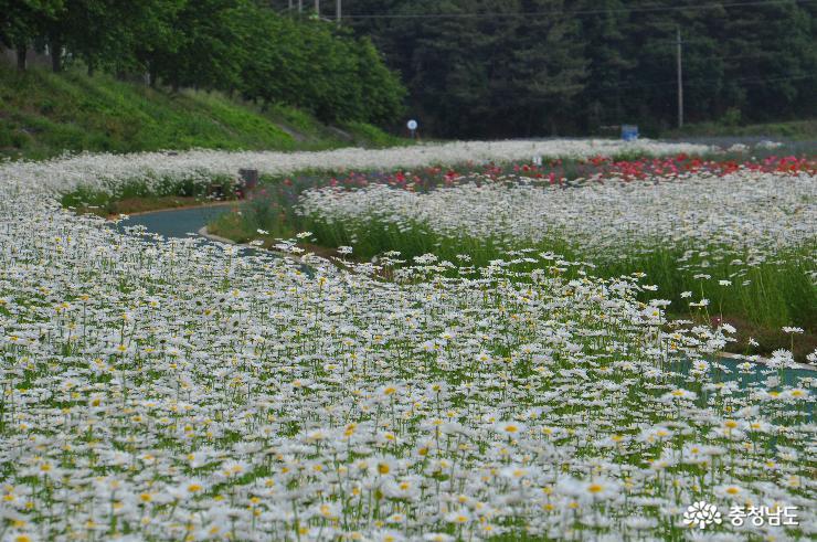 샤스타데이지와 꽃양귀비가 피어난 용장천변 고수부지