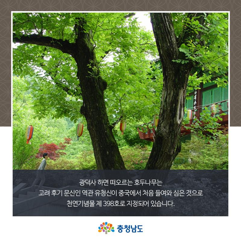 광덕사 하면 떠오르는 호두나무는 천연기념물 제 398호로 지정되어 있습니다.