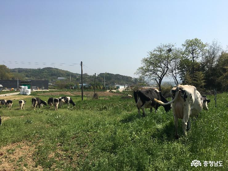 소 풀 뜯어 먹는 소리가 들리는 유기농 목장을 찾아서 3
