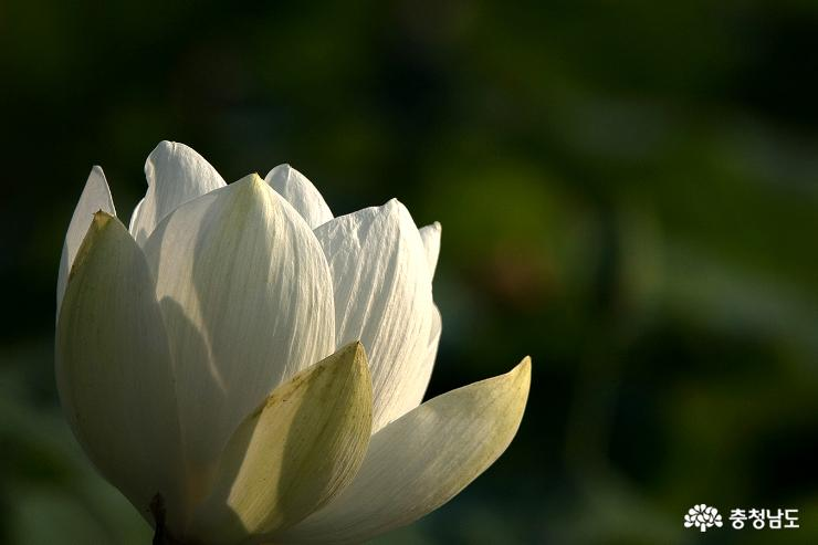 논산 연꽃 명소 연꽃 사진 찍기 좋은 곳 14