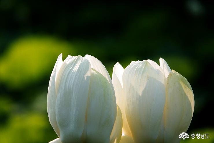 논산 연꽃 명소 연꽃 사진 찍기 좋은 곳 16