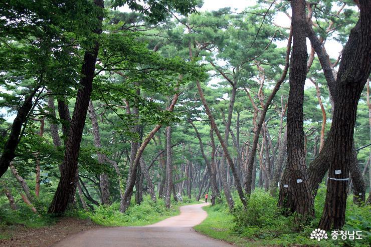 [통통충남]솔내음 따라 느린 발걸음 천년의 숲 '봉곡사'