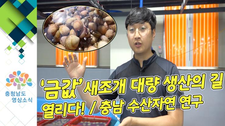[NEWS]'금값'새조개 대량 생산의 길 열리다! / 충남 수산자원 연구