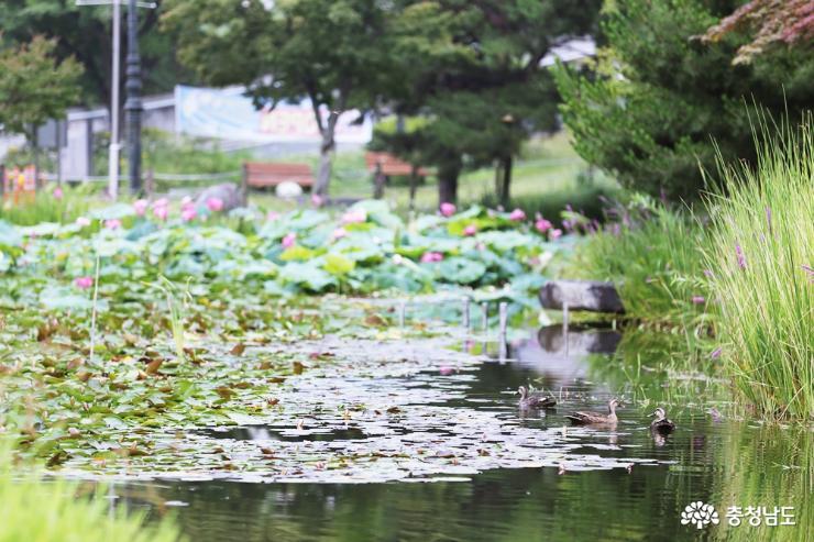 [통통충남]지친 일상에 활력을 주는 도심 속 힐링 산책 오룡지 연꽃, 능소화, 둘레길