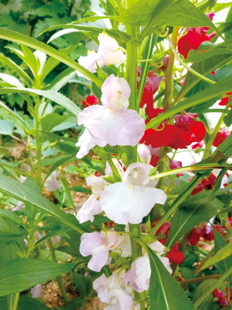 손톱위에서 곱게 피우는 봉선화꽃
