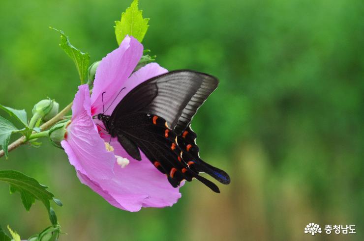 무궁화꽃과 나비