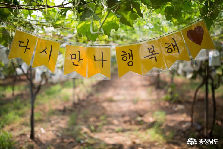 농부의 고귀한 땀방울에 영글어가는 포도송이 8