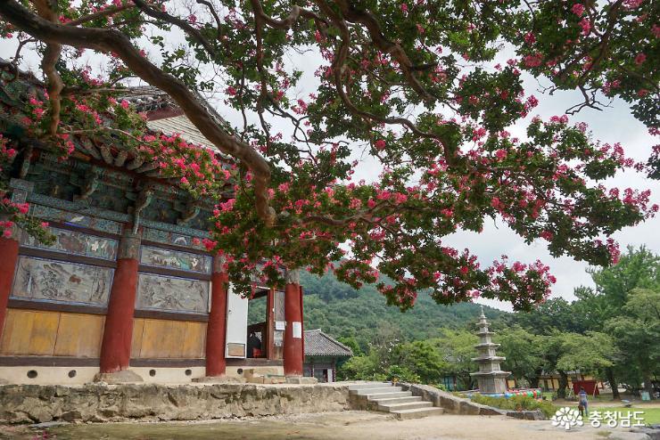 신원사 배롱나무꽃이 활짝~ 7