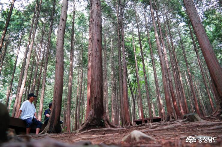 성주산 휴양림 편백나무숲