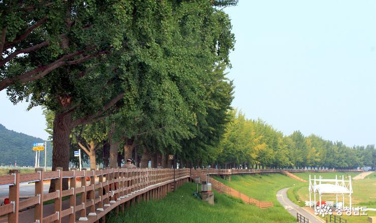 현충사 은행나무길 사계(四季), 여름과 가을 사이