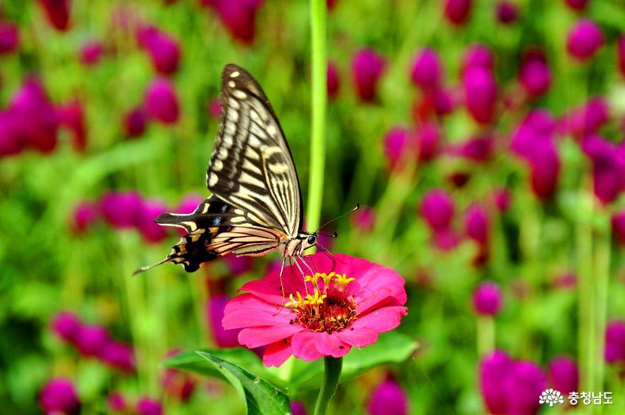 백일홍에 앉은 나비