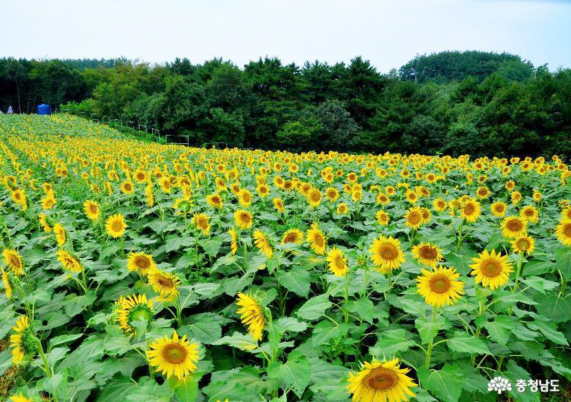 태안 '해바라기 올래정원'의 아름다운 늦여름