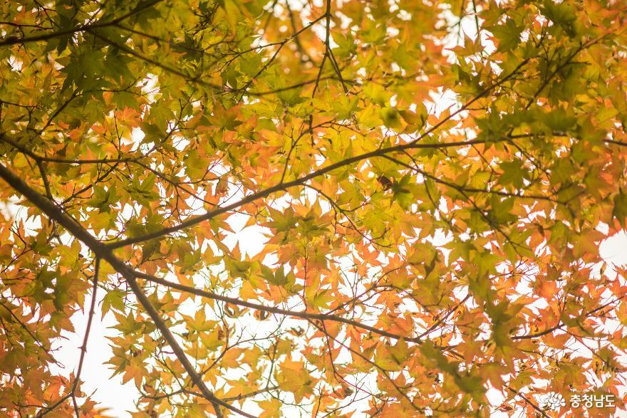독립기념관 단풍나무숲길의 가을 소식 4