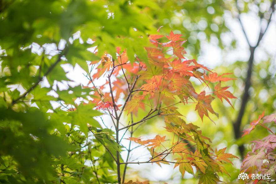 독립기념관 단풍나무숲길의 가을 소식 6