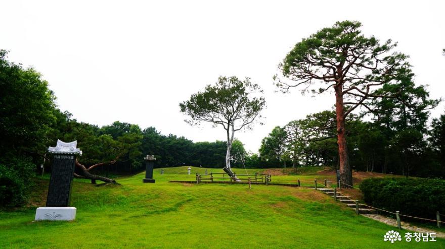 예산 백송공원 백송(하얀 소나무)