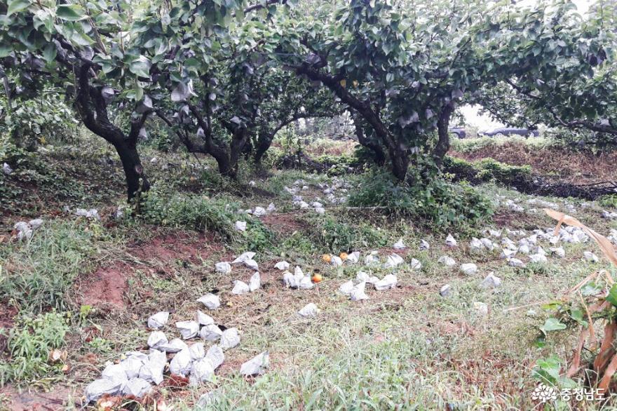태풍 '링링' 낙과피해농가 긴급일손돕기에 나서