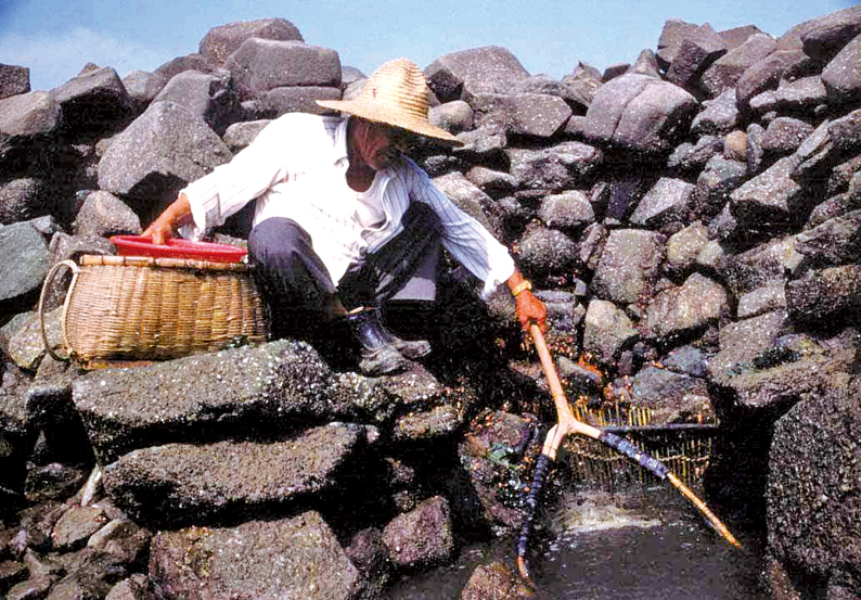태안군 몽산리의 독살에서 어부가 물고기를 건져 올리는 모습