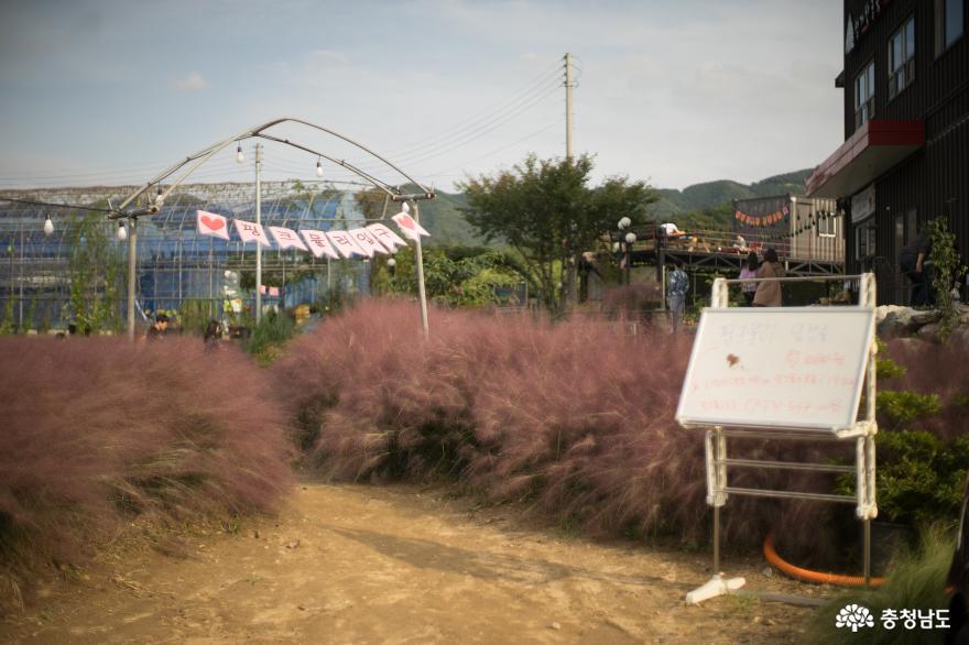 우리 같이 핑크뮬리 보러 '성거산농원' 가자!