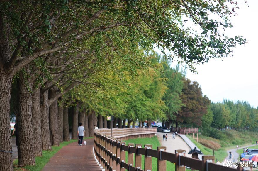 가을빛 여행은 바로 이곳! 곡교천 은행나무길 8