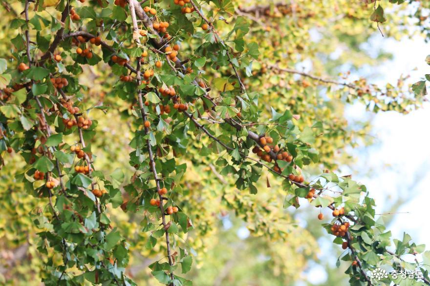 가을빛 여행은 바로 이곳! 곡교천 은행나무길 11