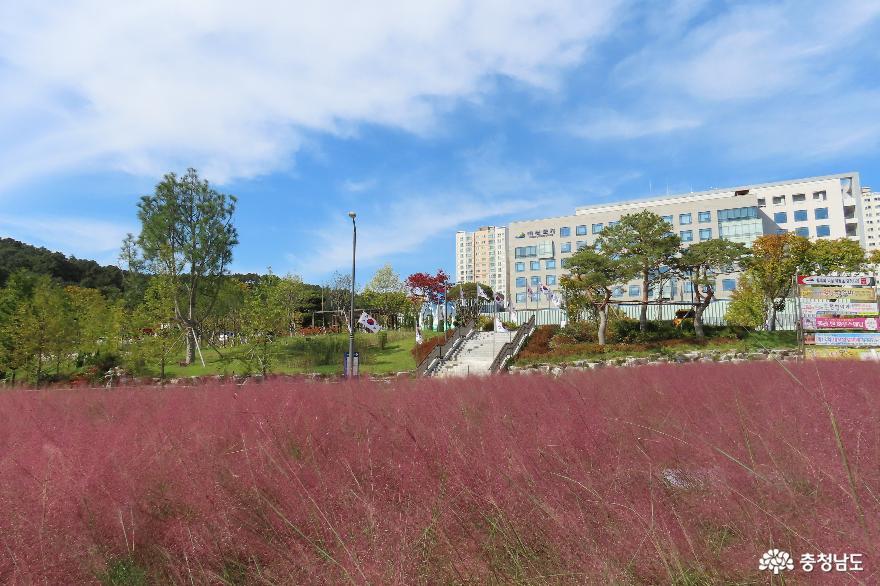 발길을 붙잡는 가을풍경, 예산군청 앞 핑크뮬리