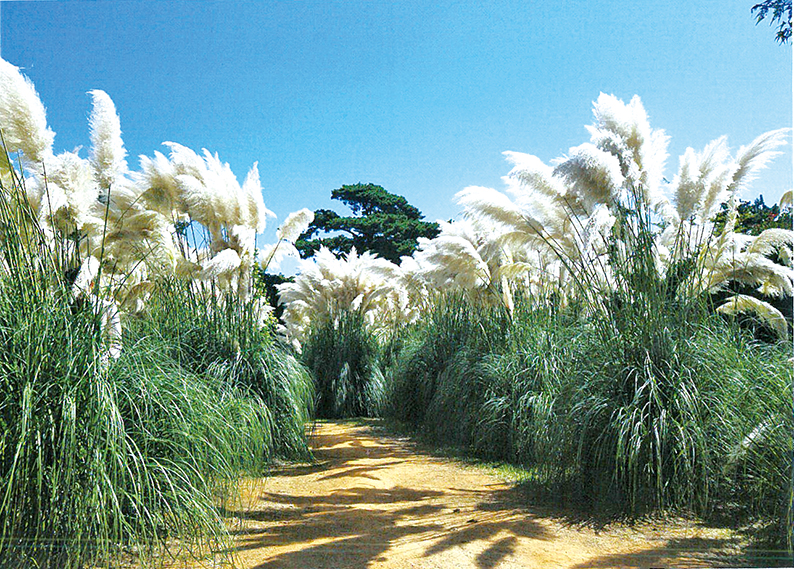 청산수목원 팜파스