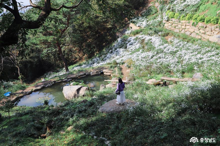 서산 도비산에서 만난 구절초 사진