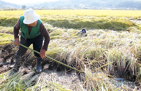 올해 충남 쌀 수확량 전국 두 번째