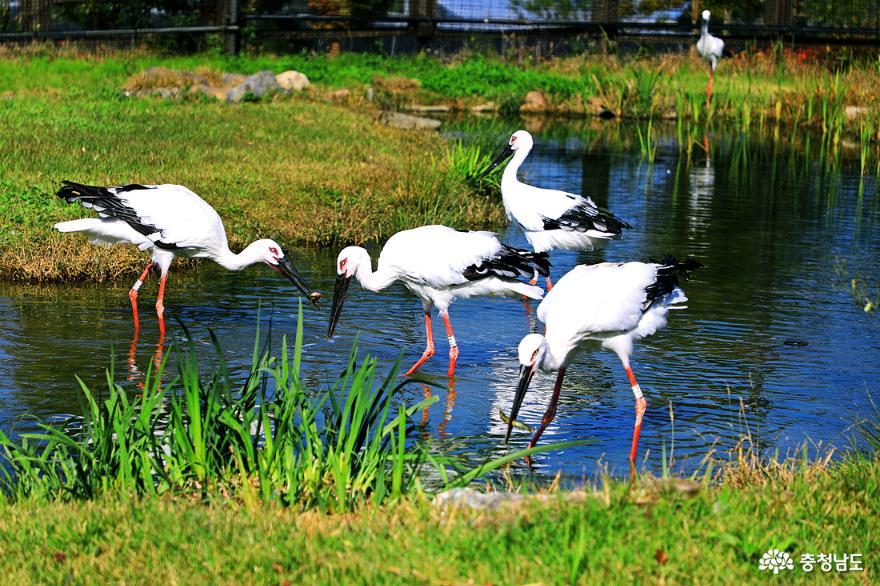 충남 가볼만한곳 창공을 비상하는 황새 예산 황새공원