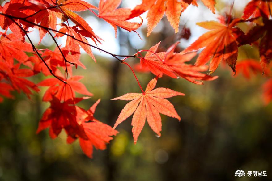 가을빛으로 곱게 물든 천안 성거산 성지둘레길을 걸으며 힐링해요! 11