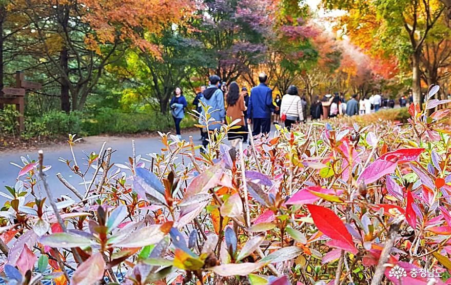 가을정취 물씬! 만추가경 느끼기 충만했던 단풍나무숲길 힐링축제