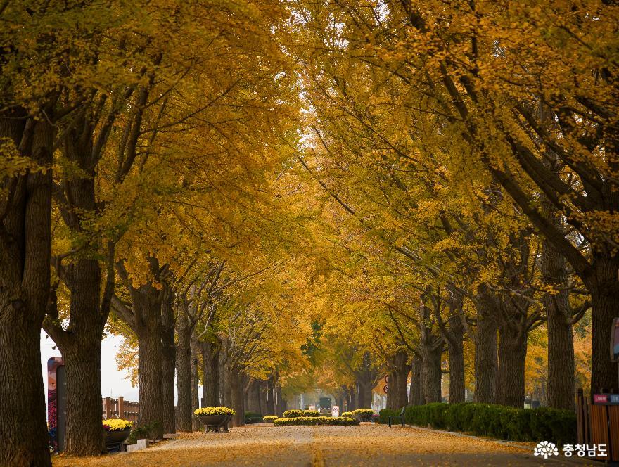 가을의 끝자락, 아산은행나무길