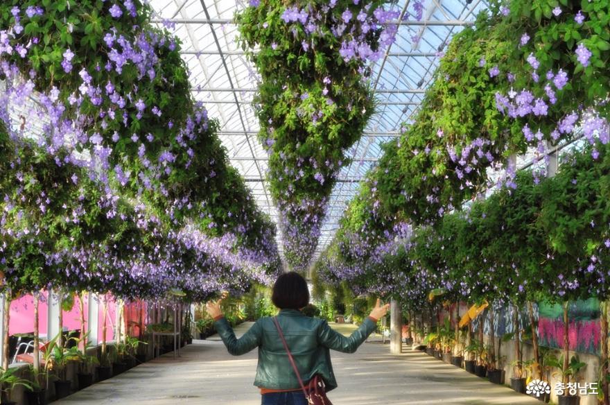 아산 세계꽃식물원에서 다양한 꽃들과 성탄절 분위기를 미리 즐기고 오다 7