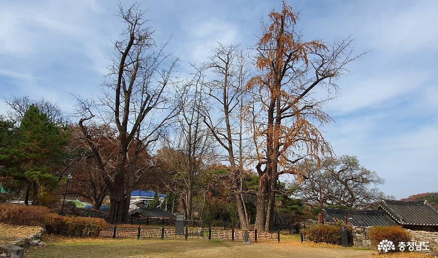 맹사성고택의 쌍행수. 오른쪽 암나무에는 650년 수령에도 은행열매가 가득하다.