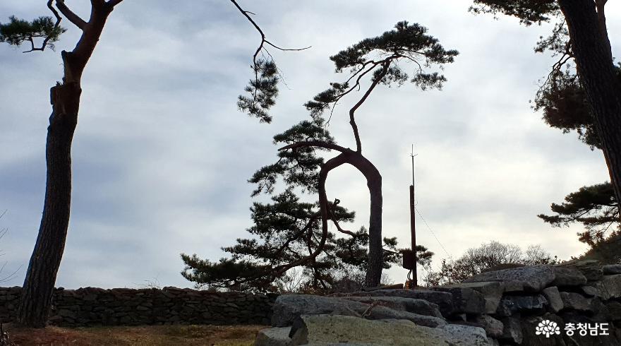 맹사성고택에 심어진 소나무가 눈길을 끌고 있다.