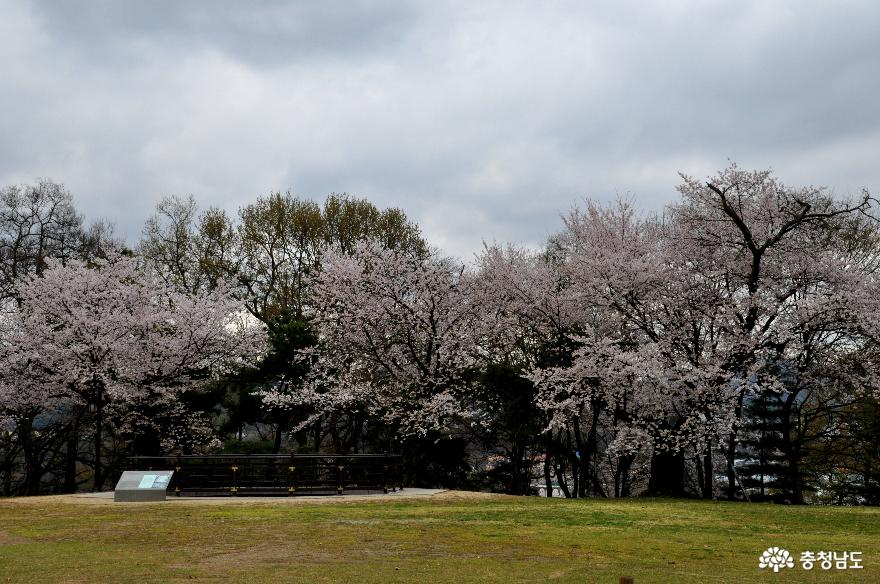봄에 피어난 벚꽃