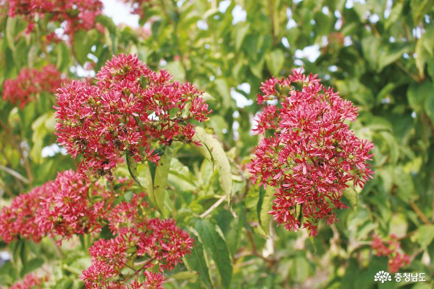 Queen's flower blooming twice a year, 'Seven-son flower' set to be exported to China