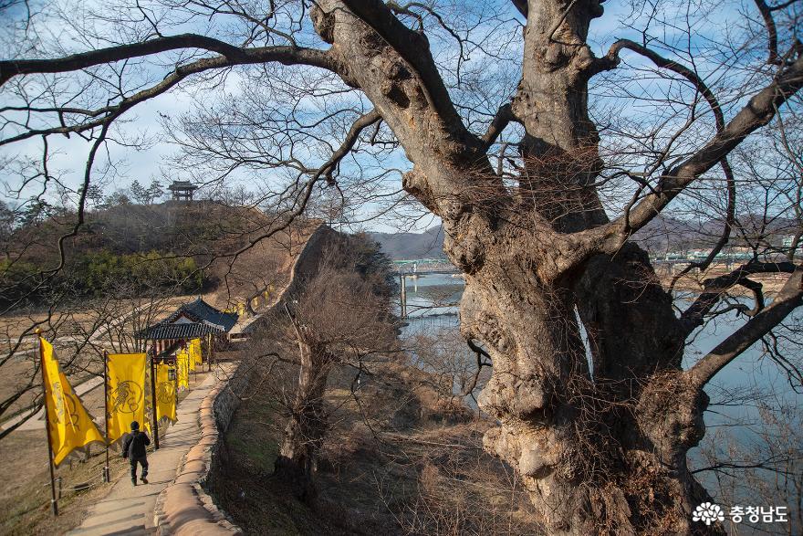 공산성 광복루 주변의 큰 나무들